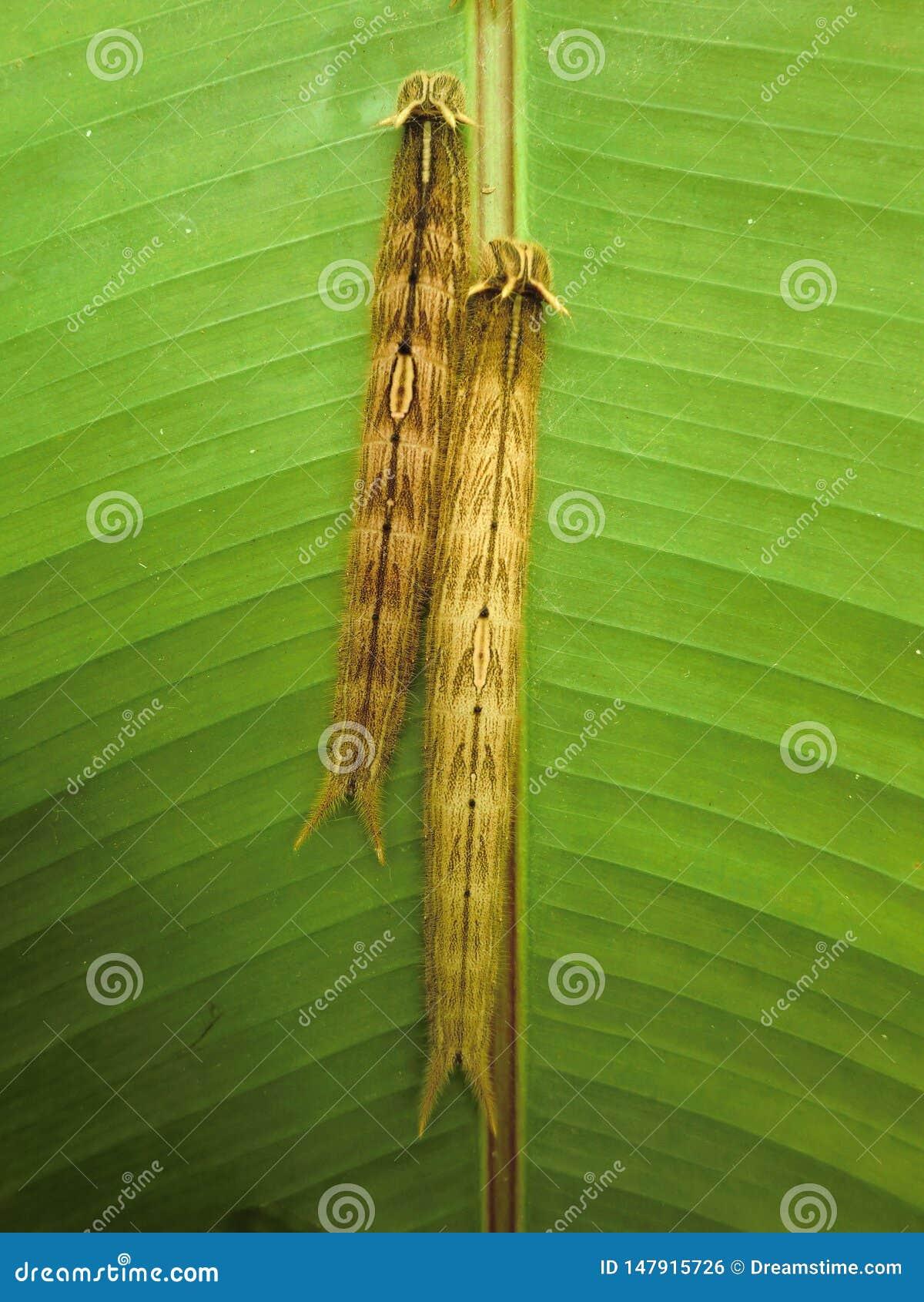 两条毛虫避难在一片绿色叶子背面在温室