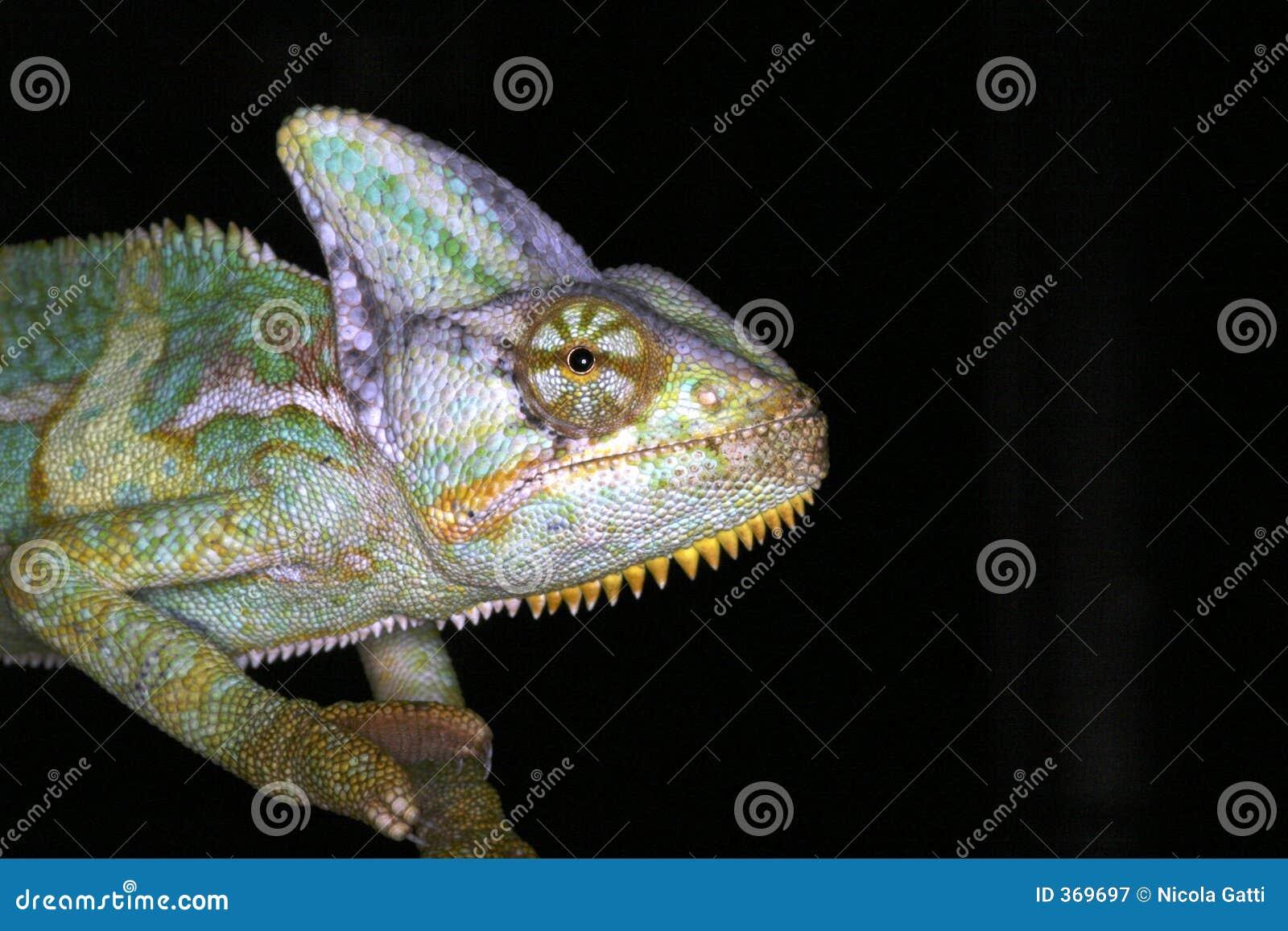 两栖变色蜥蜴爬行动物