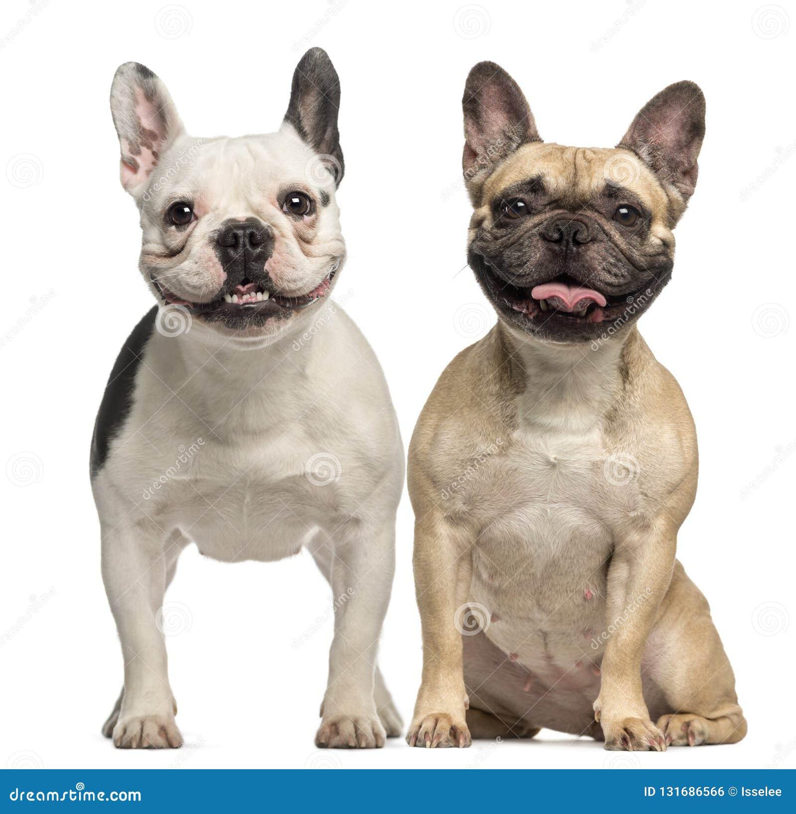 两法国牛头犬、3岁,开会和气喘