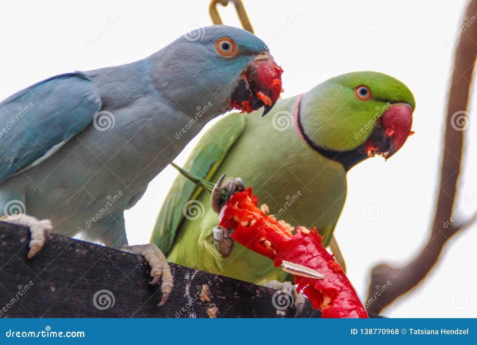 两鲜绿色和蓝色鹦鹉吃炽热辣椒