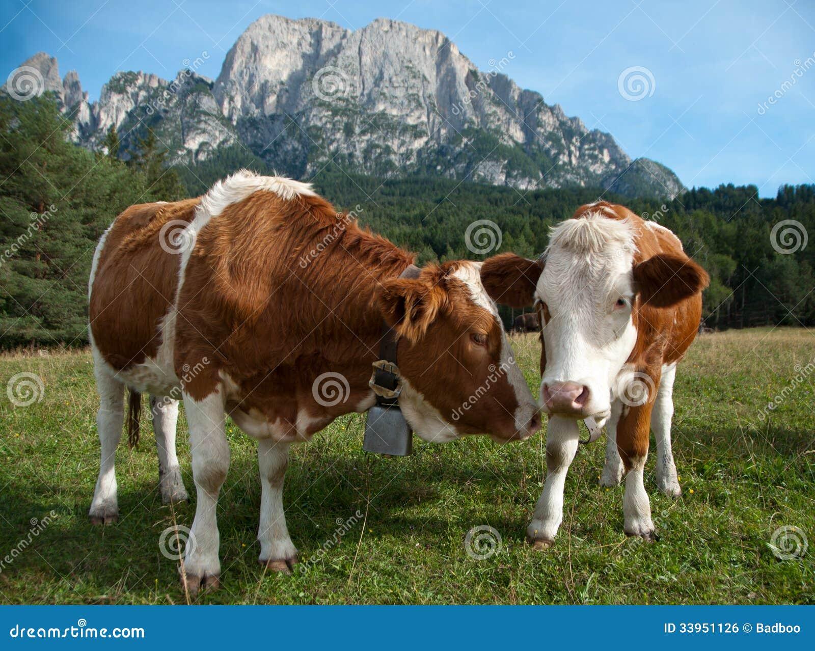 两头幼小Simmentaler奶牛