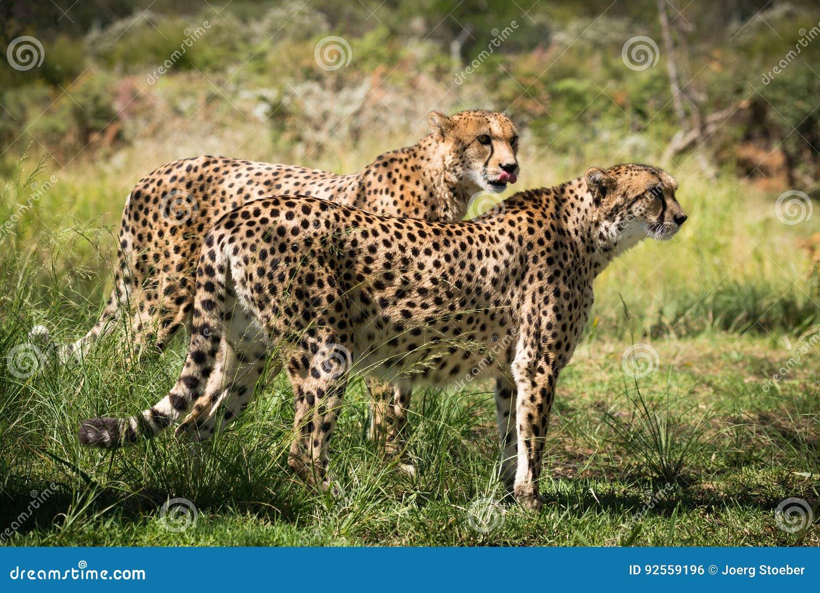 两头非洲猎豹