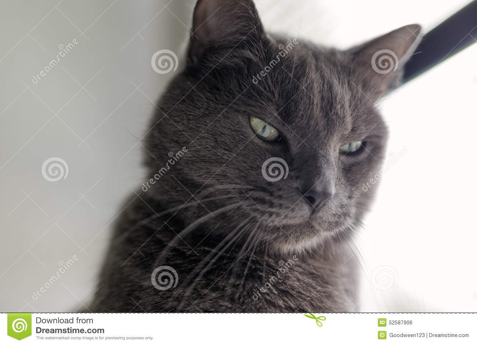 严肃的灰色猫画象