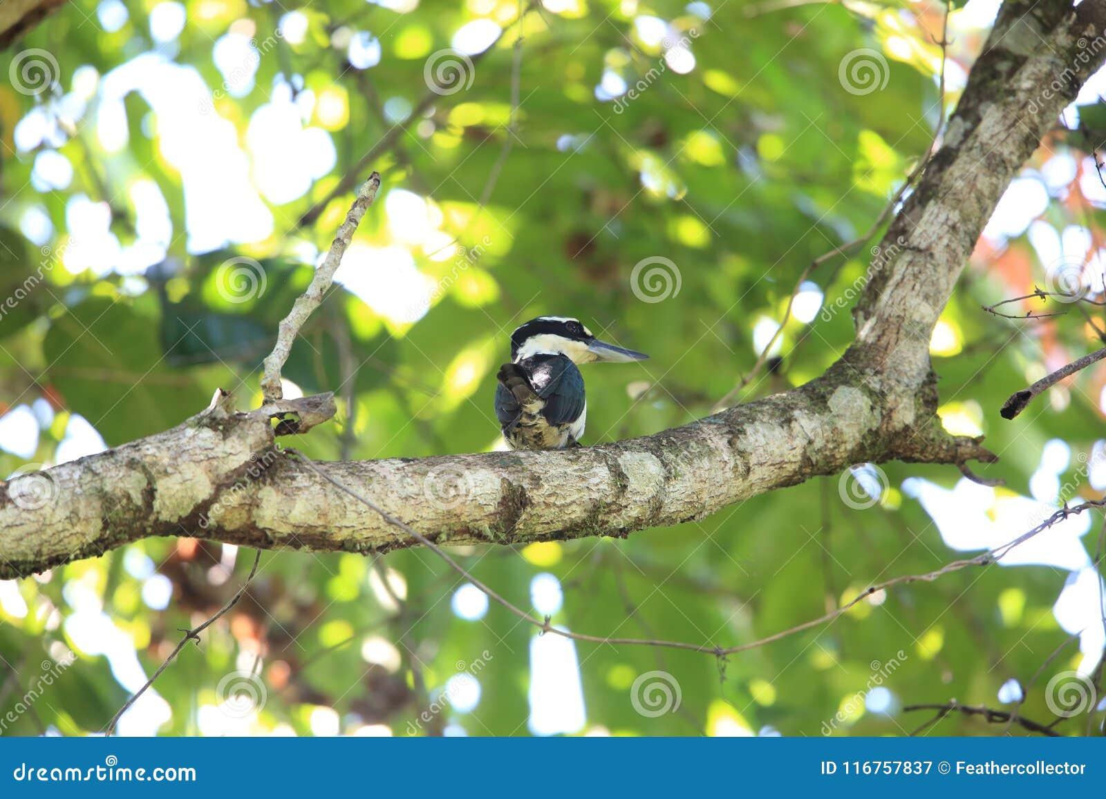 严肃翠鸟在哈马黑拉岛海岛,印度尼西亚
