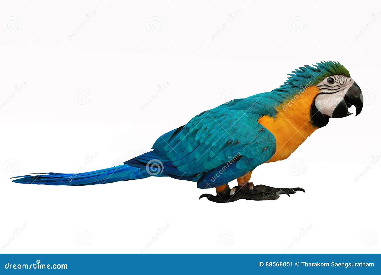 4个月蓝色和黄色金刚鹦鹉可爱的明亮的儿童` s情感