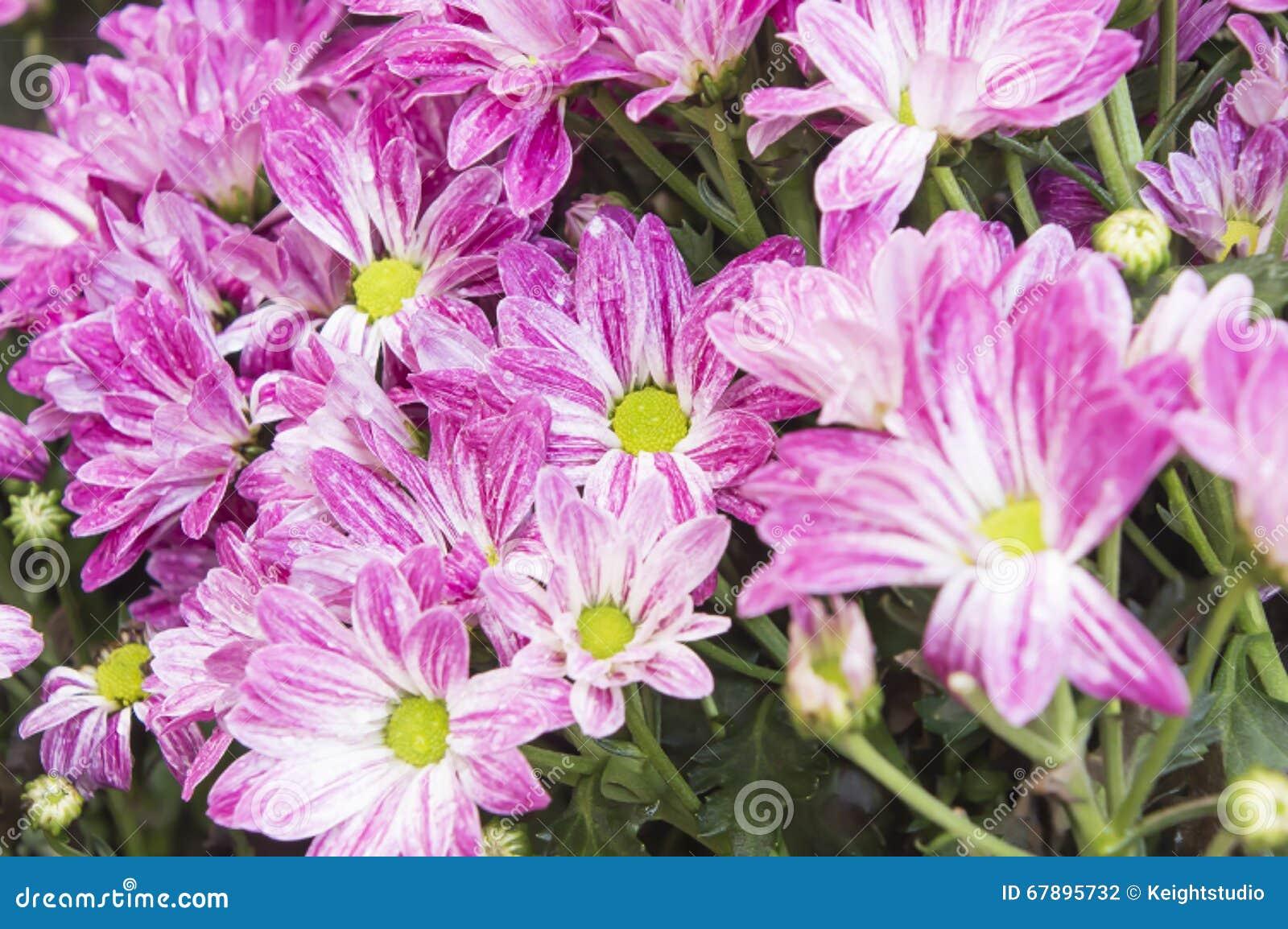 1个背景开花粉红色