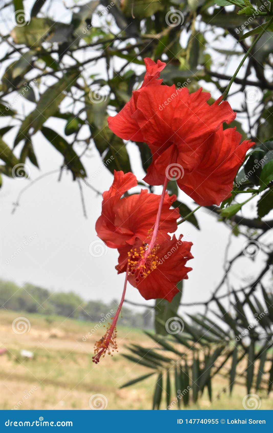 中国玫瑰红的花在印度