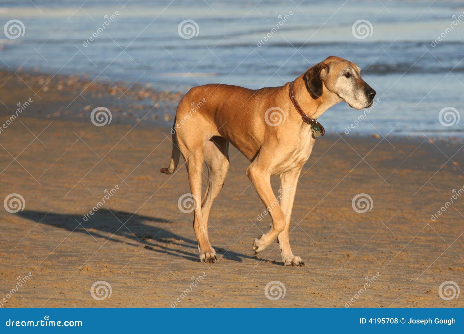 色狗与人弄的直流水_丹麦人狗极大的家谱
