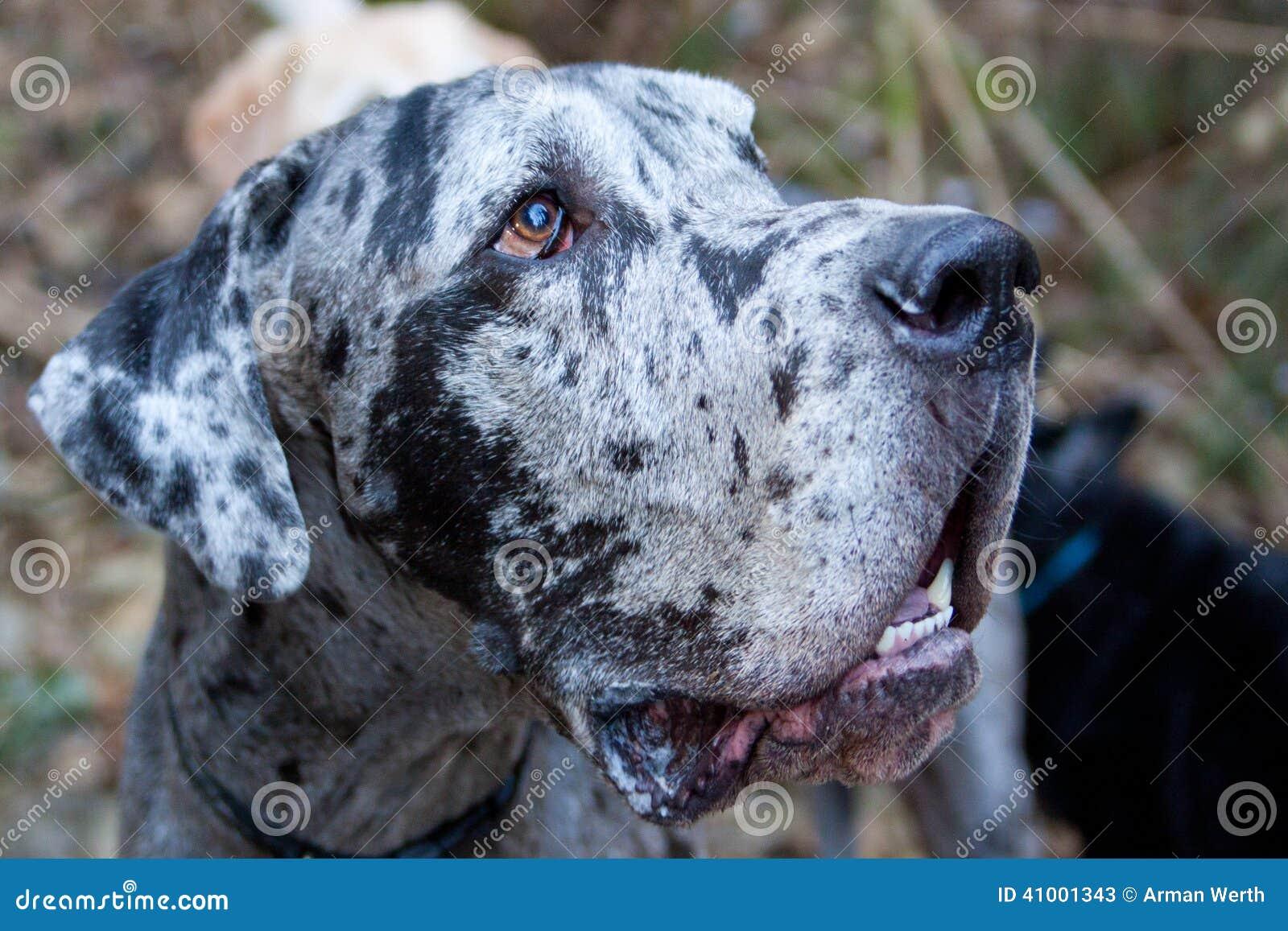 丹麦种大狗外形