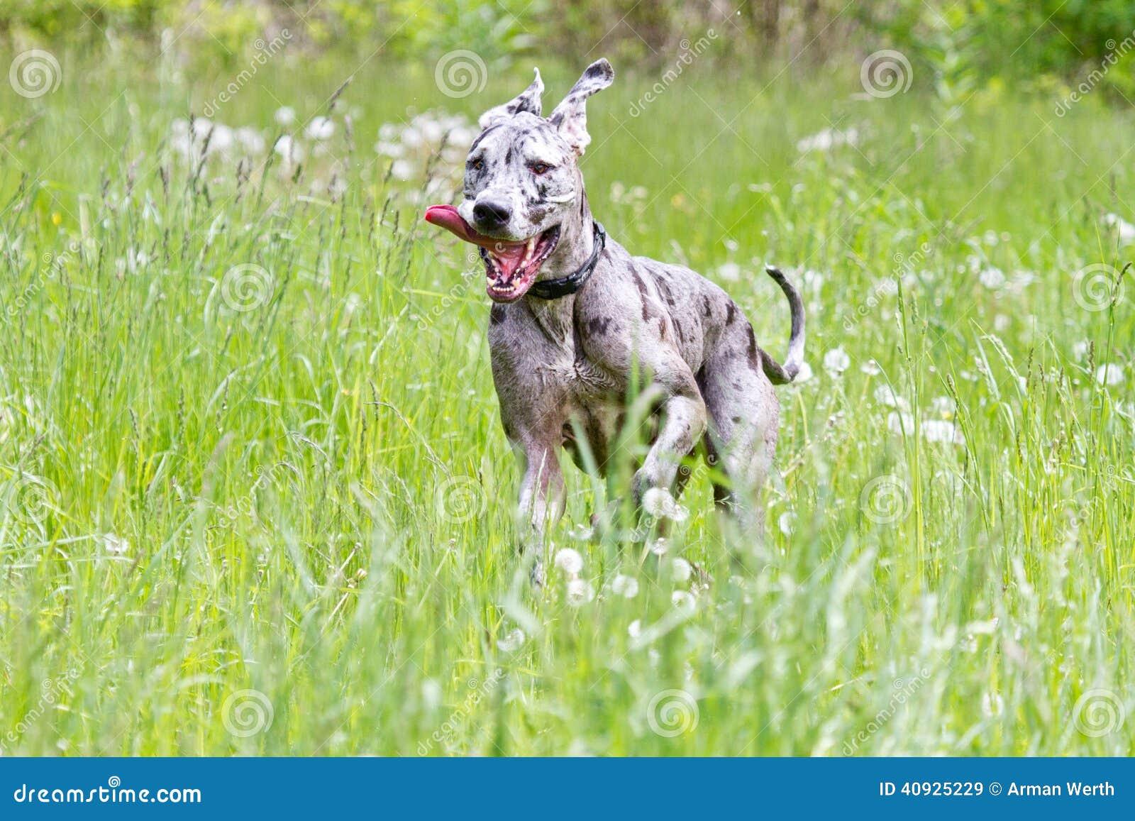 丹麦种大狗赛跑