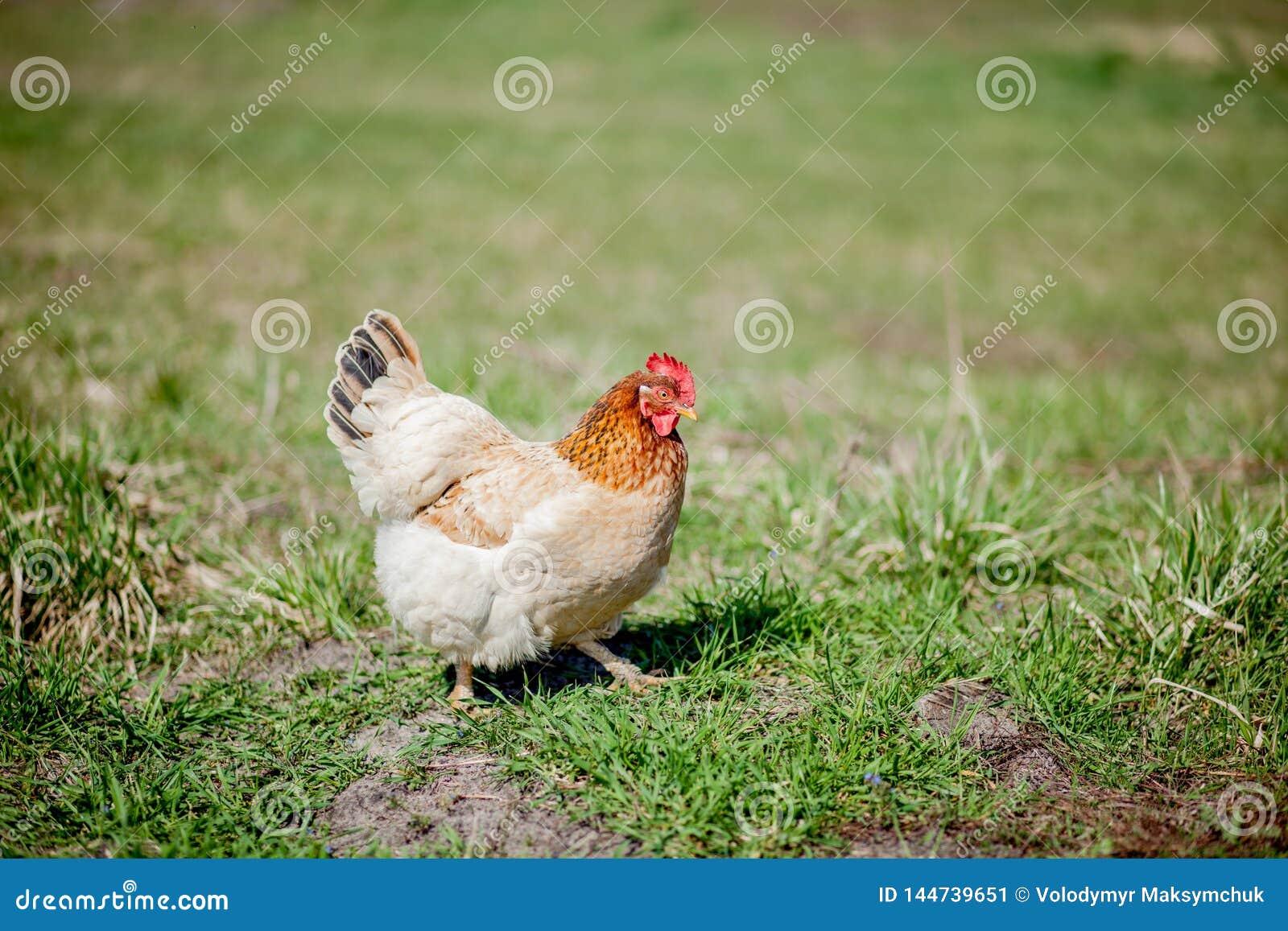 在草的鸡在农场 为在草的步行的橙色鸡母鸡