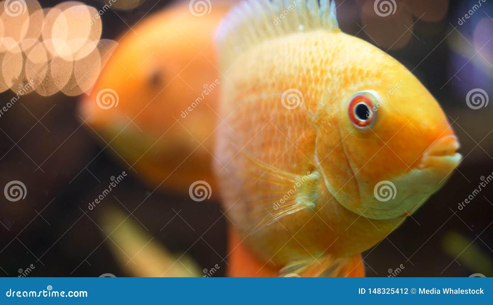 为游泳在淡水水族馆,独特的生物概念的金鱼关闭  ?? 美丽白色和黑