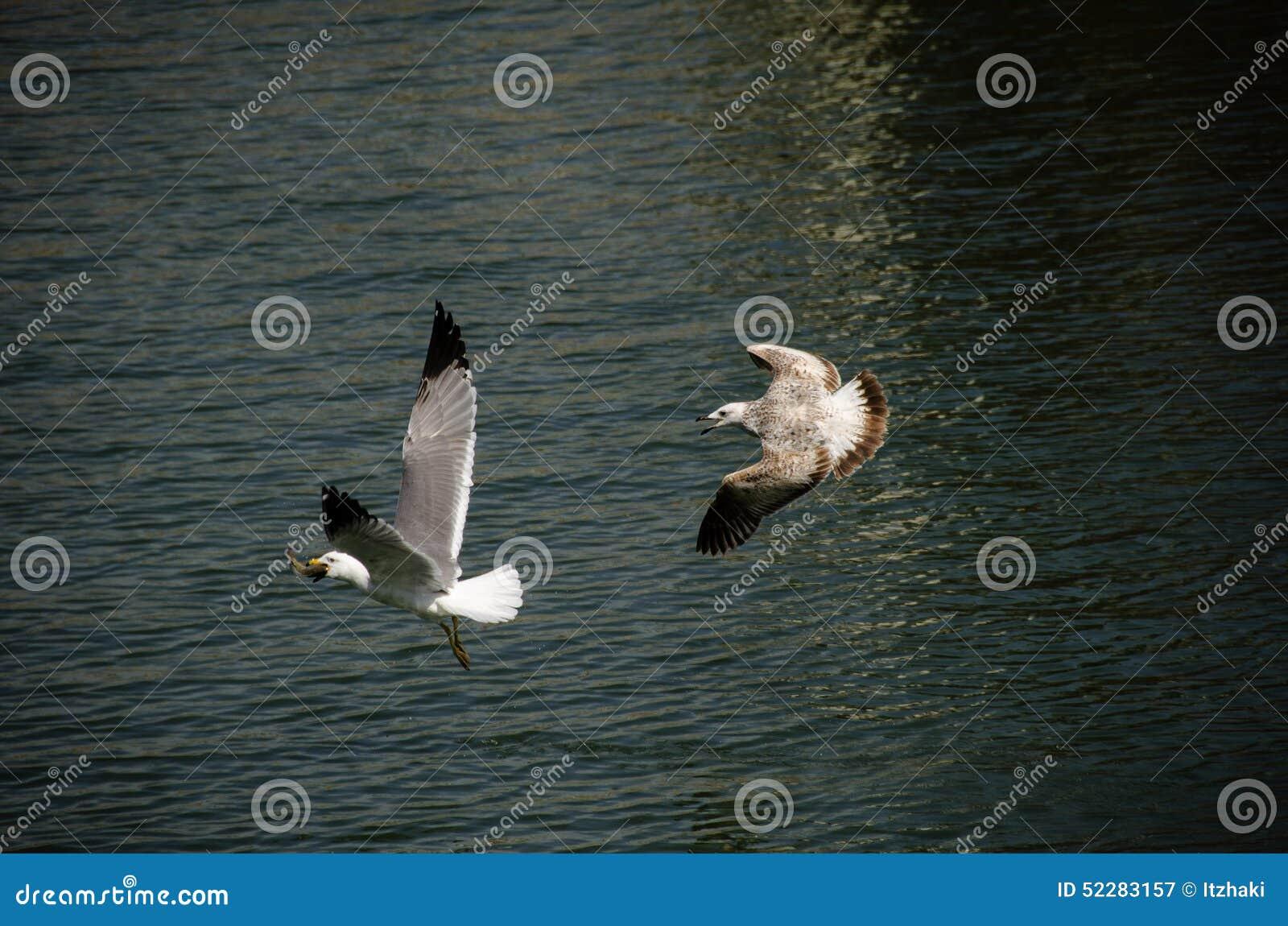 为食物的海鸥战斗