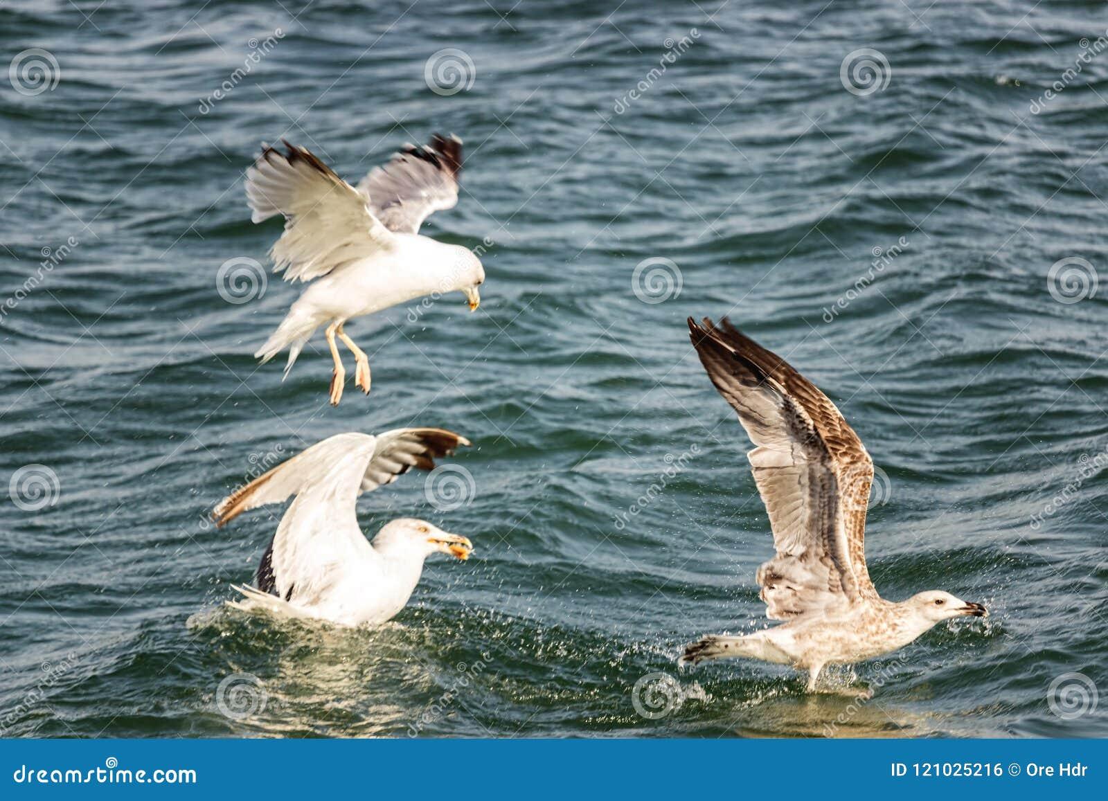 为食物的鸟战斗
