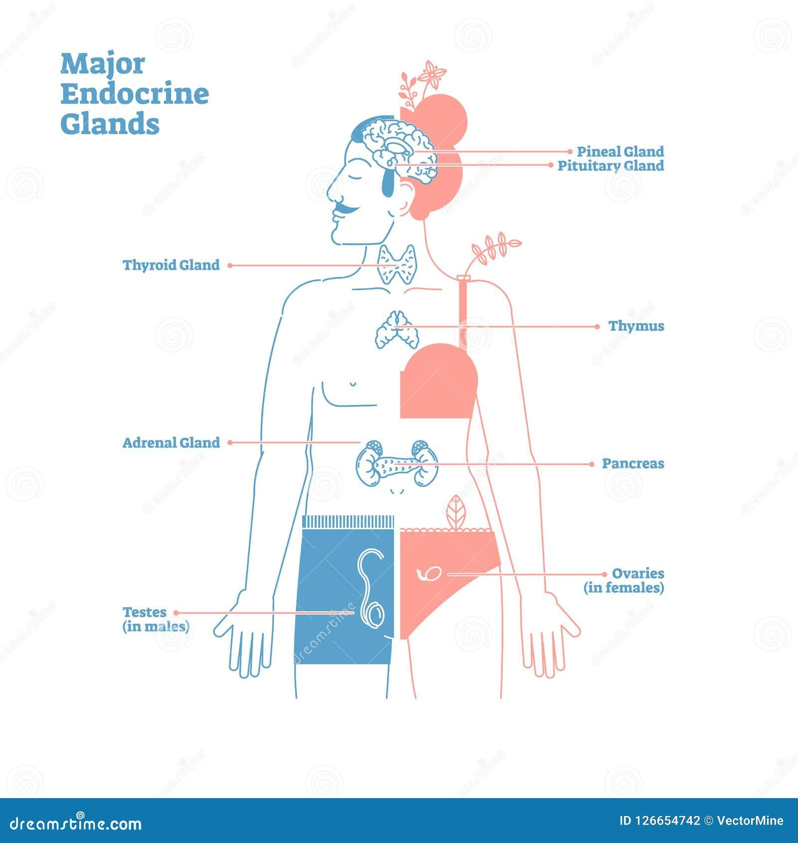 主要内分泌腺,传染媒介例证图 人体激素