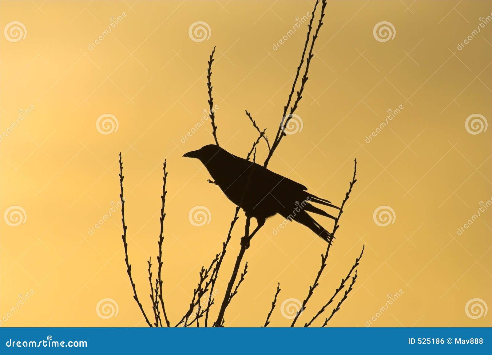 Download 乌鸦剪影 库存照片. 图片 包括有 自然, 枝杈, 白兰地酒, 生物, beautifuler, 黑暗, 自由 - 525186