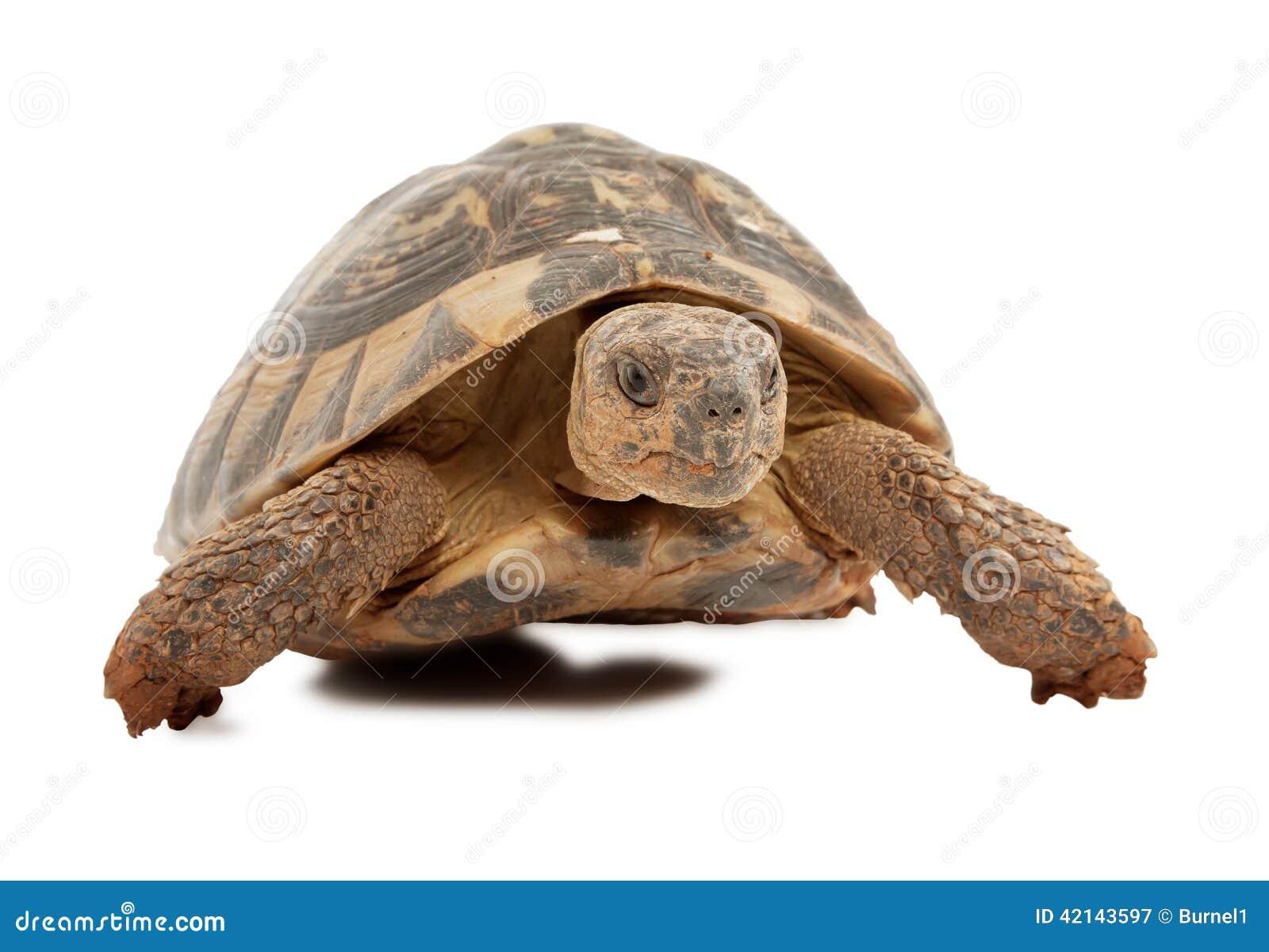 在白色背景隔绝的乌龟,在乌龟头的焦点.