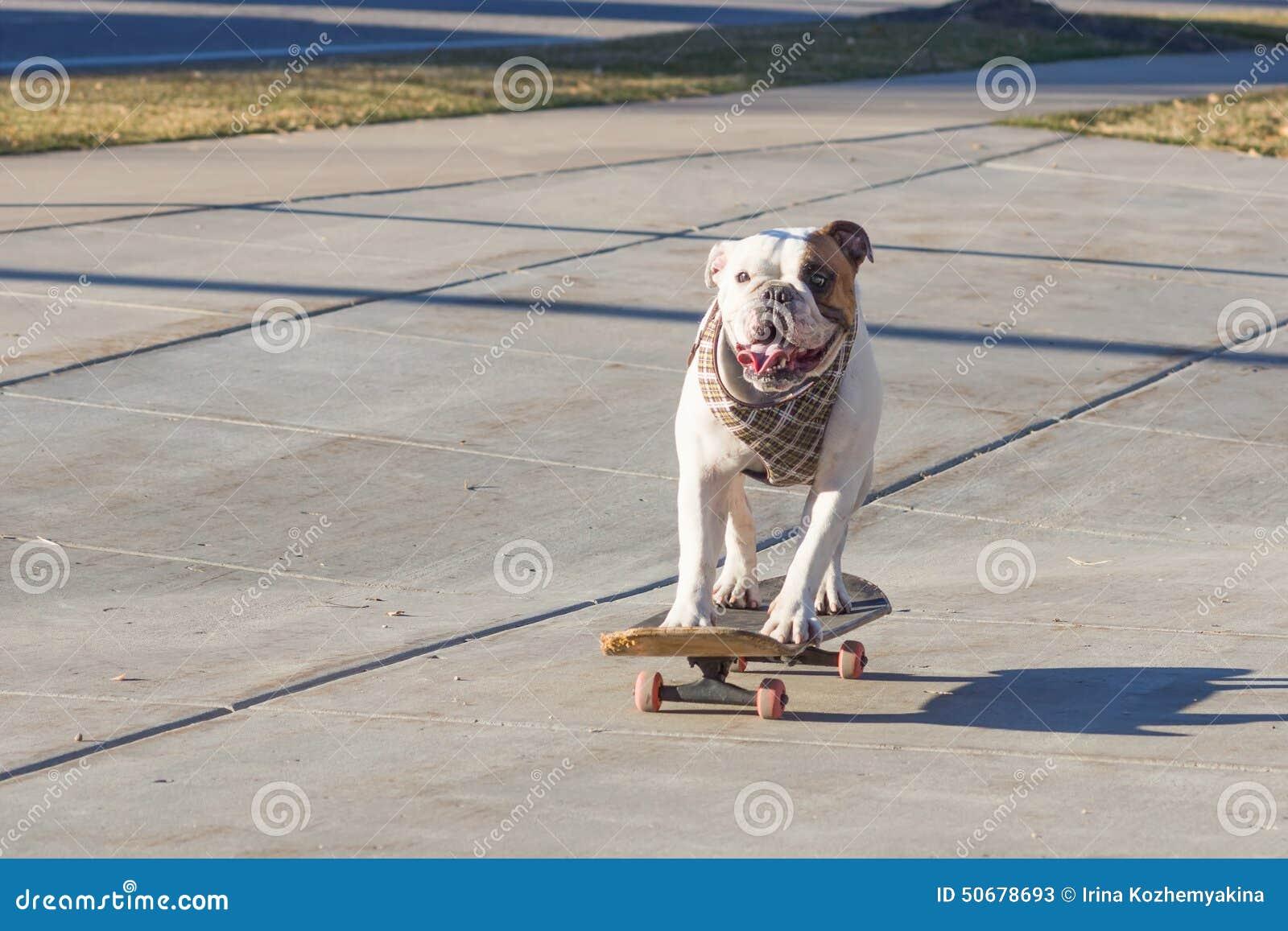 Download 乘坐滑板的快乐的英国牛头犬在街道 库存图片. 图片 包括有 户外, 溜冰板者, 滑稽, 城市, 窍门, 可笑 - 50678693