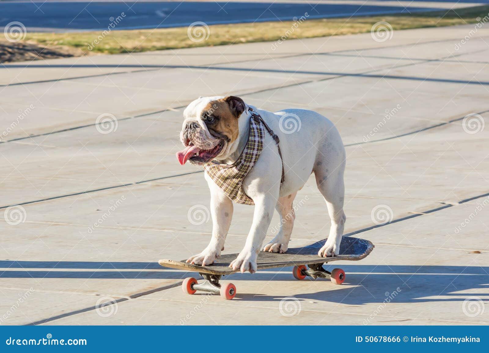 Download 乘坐滑板的英国牛头犬在街道 库存照片. 图片 包括有 户外, 滑稽, 质朴, 似犬, 可笑, 溜冰者, 溜冰板者 - 50678666