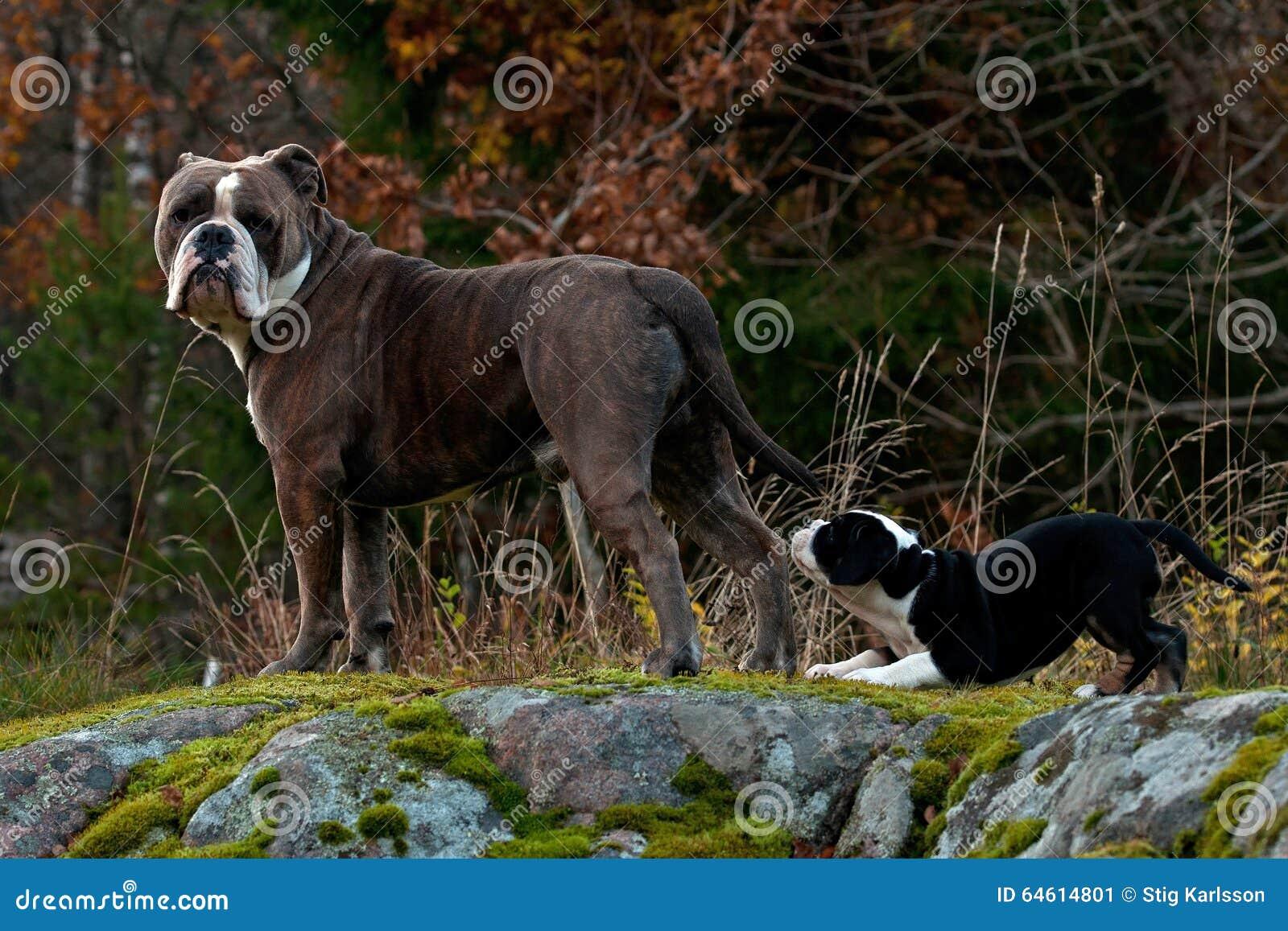 九个与一名成年男性的星期年纪小狗老英国牛头犬