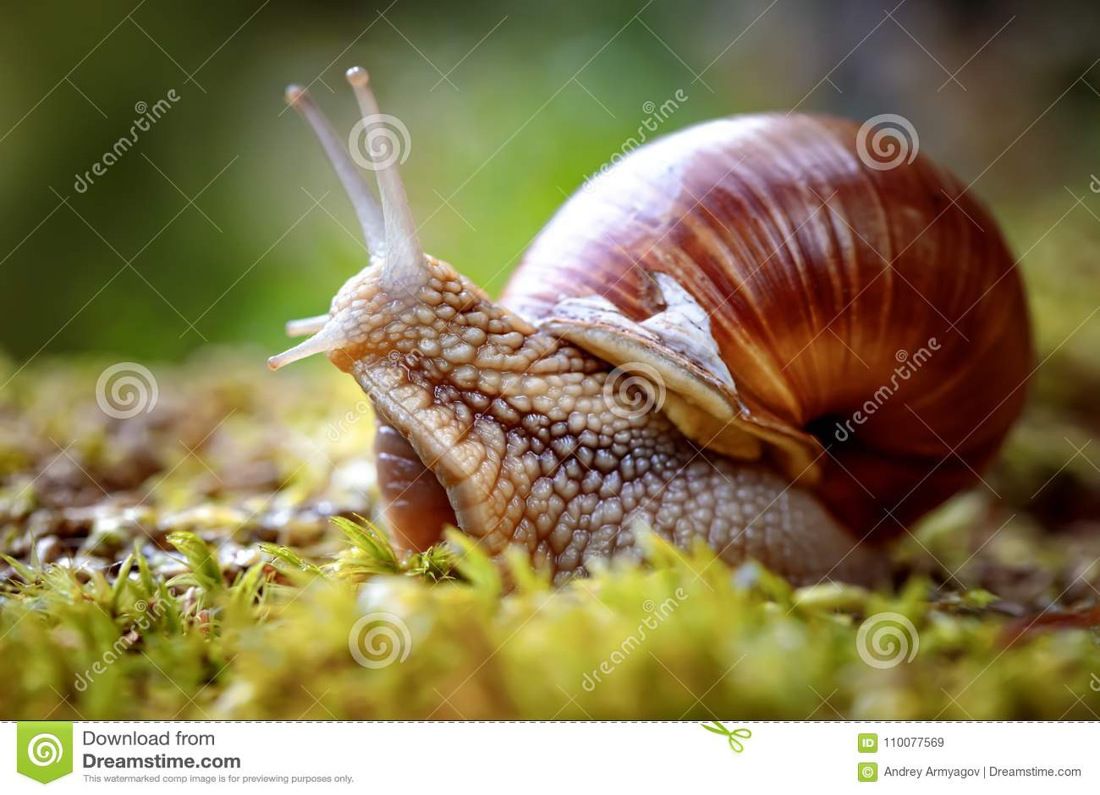 也螺旋pomatia罗马蜗牛,伯根地蜗牛
