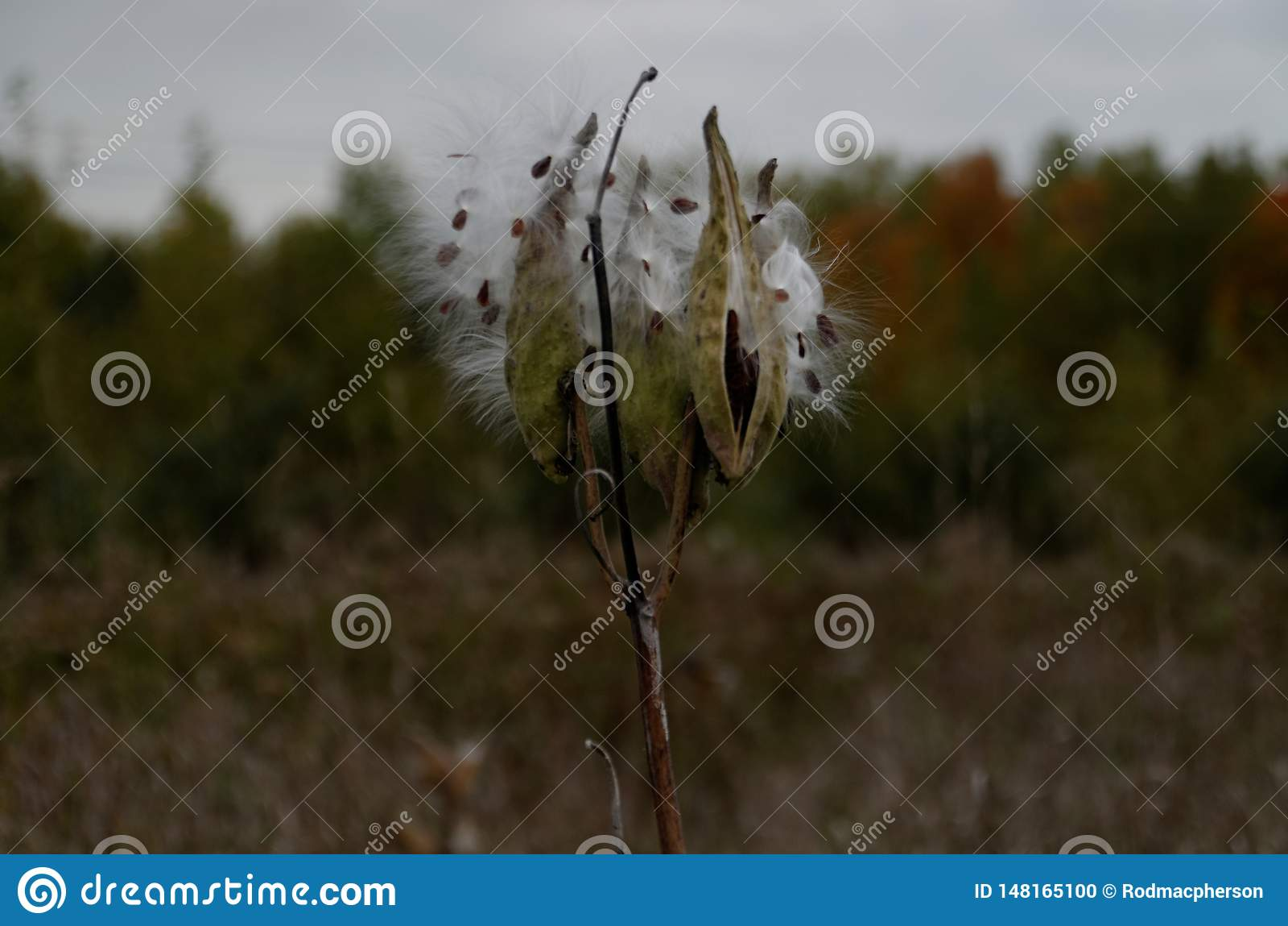 乳草种子荚
