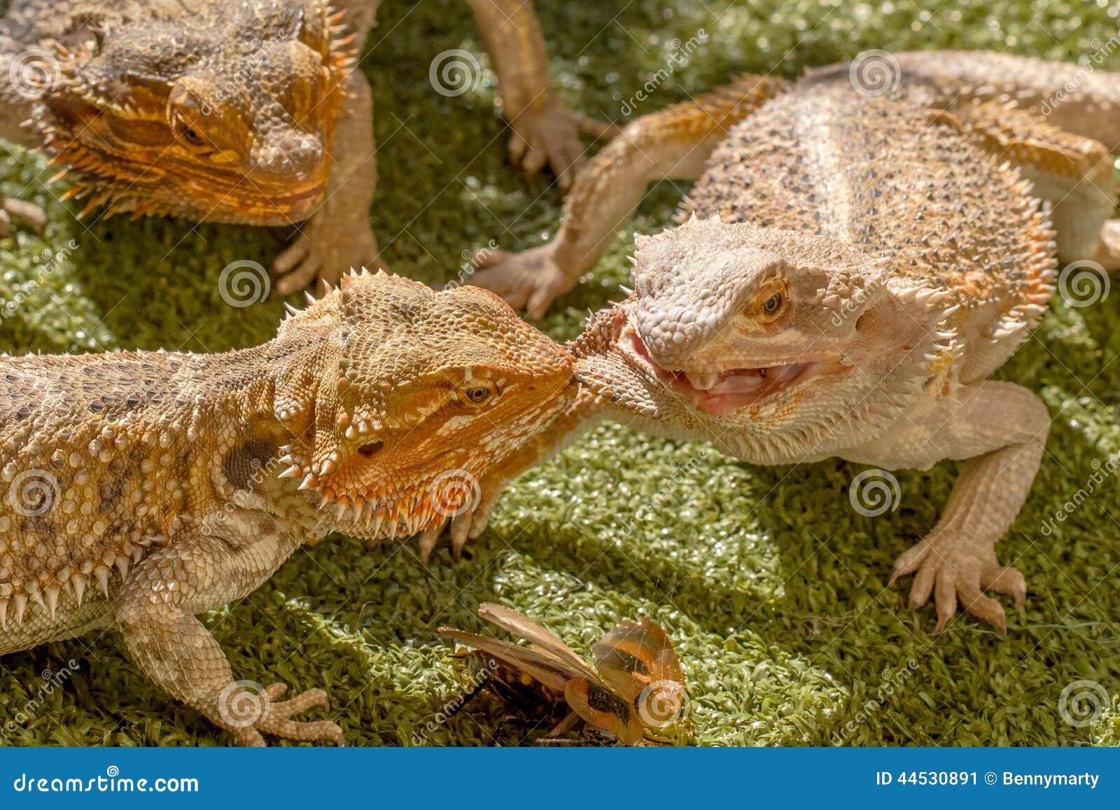 争夺食物的爬行动物