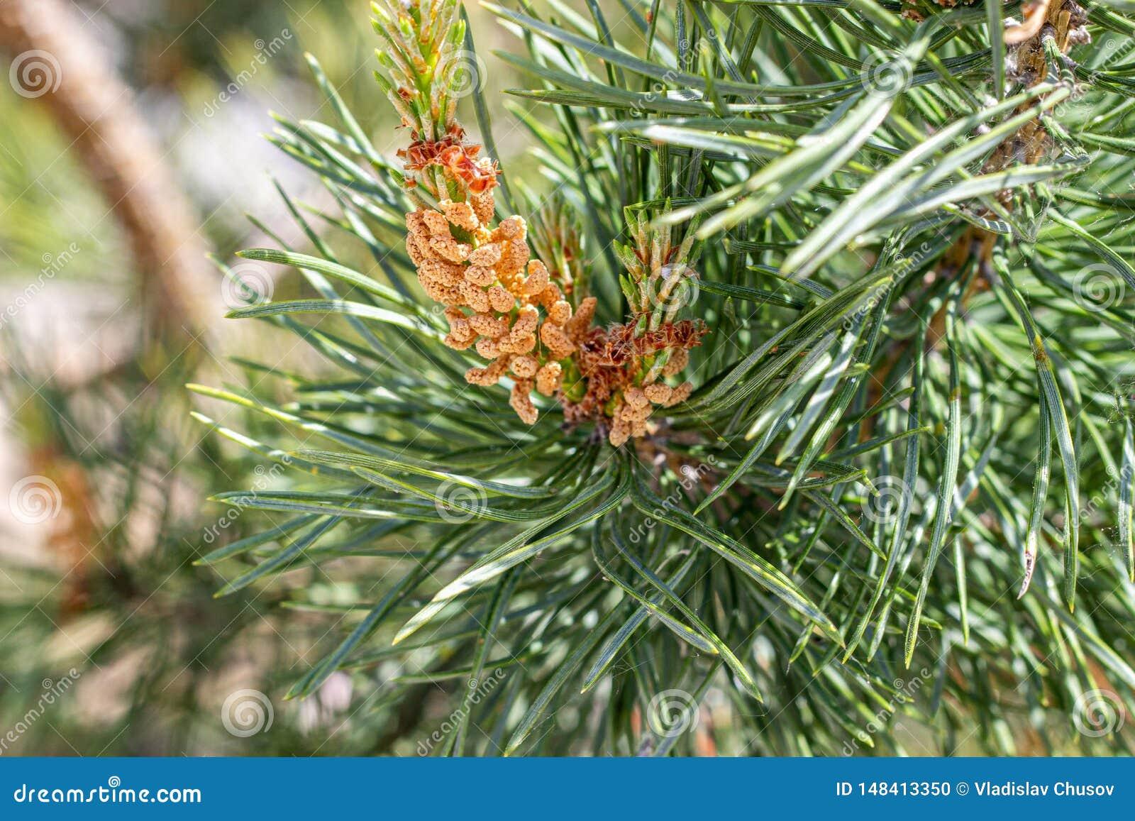 云杉的针和锥体 自然植物 ??