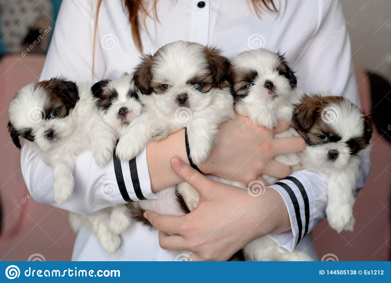 五只小狗shitzu在交配动物者的手上