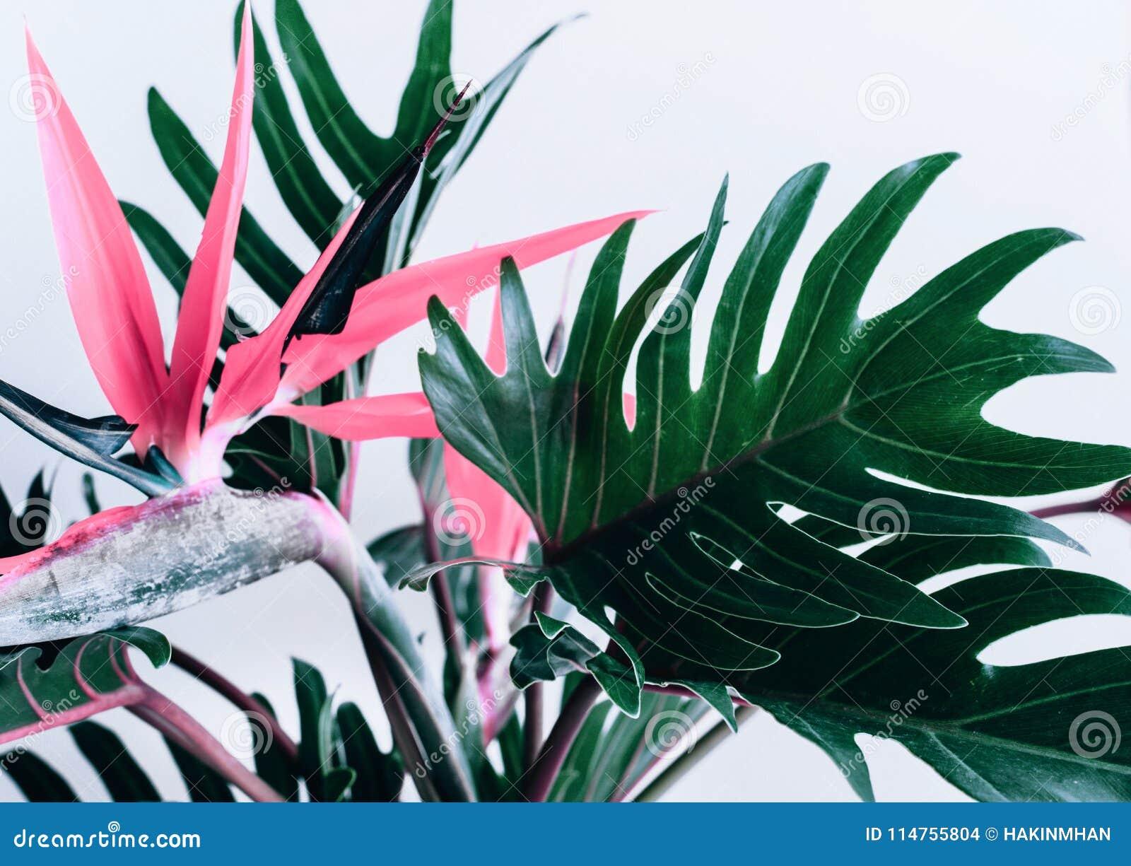 五颜六色异乎寻常的热带花strelizia和xanadu叶子