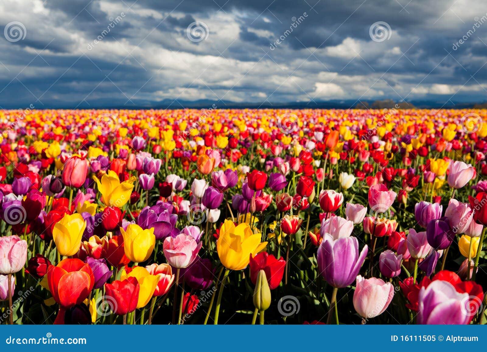五颜六色的域春天郁金香
