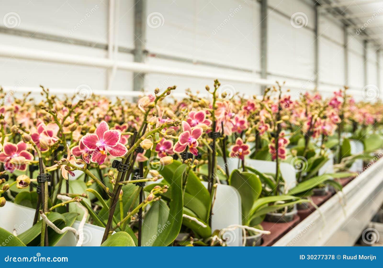 五颜六色的成熟兰花行种植准备好运输