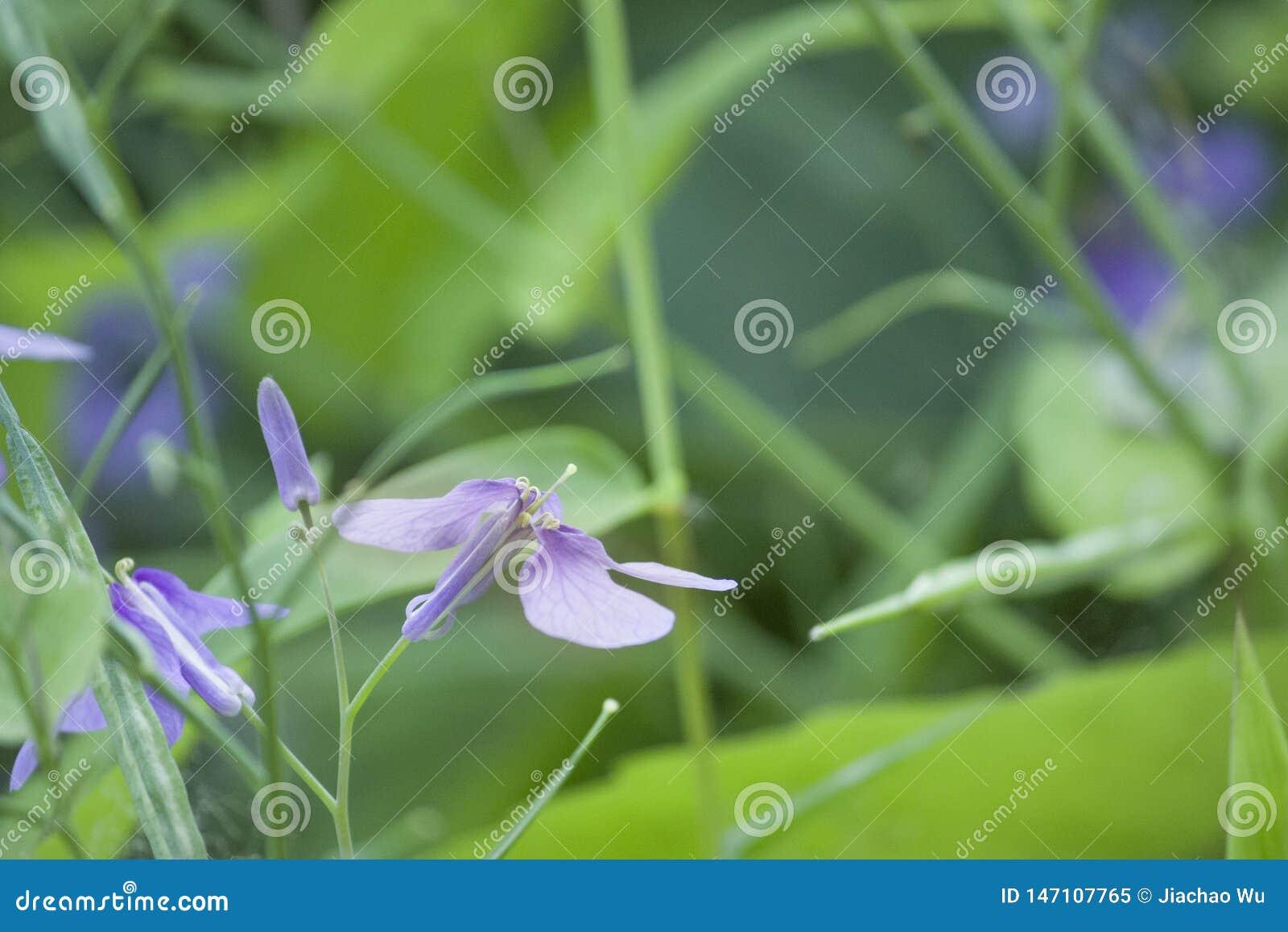 五颜六色的虹膜兰花紫色小花