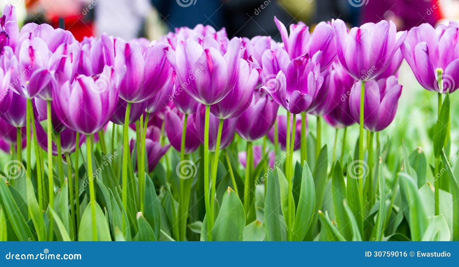五颜六色的郁金香.美丽的春天花.春天风景.