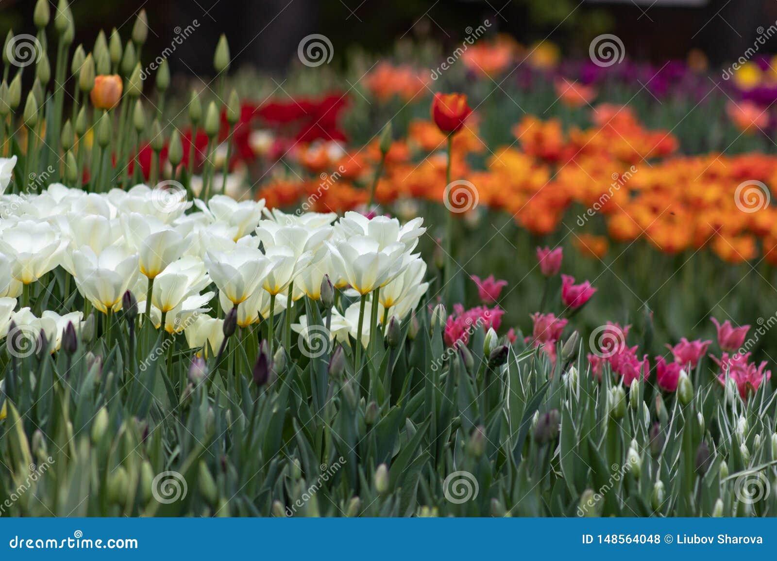 五颜六色的郁金香在春天