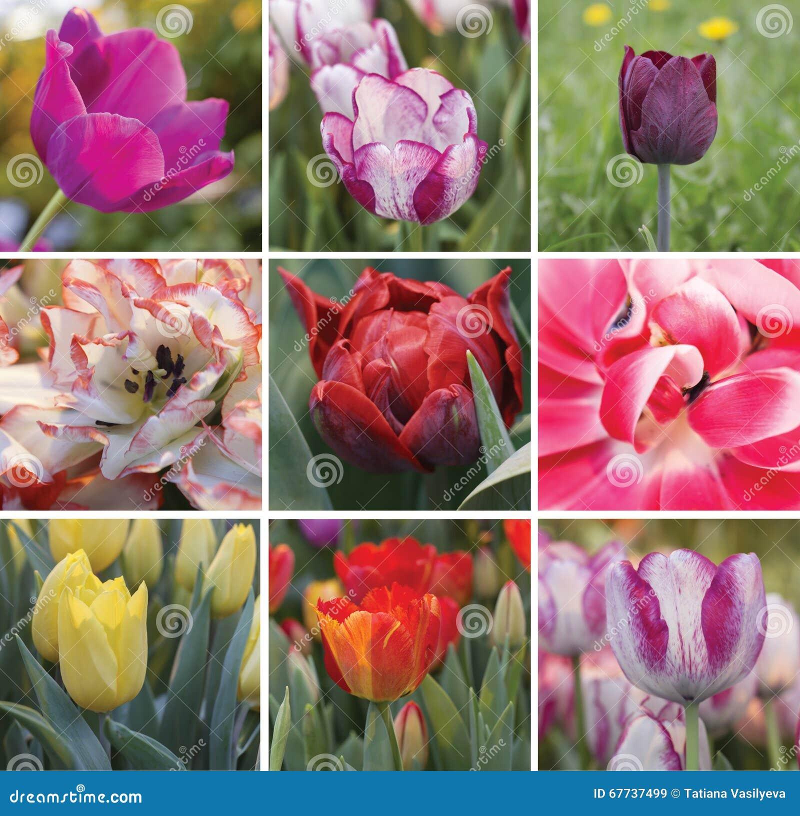 五颜六色的郁金香春天拼贴画