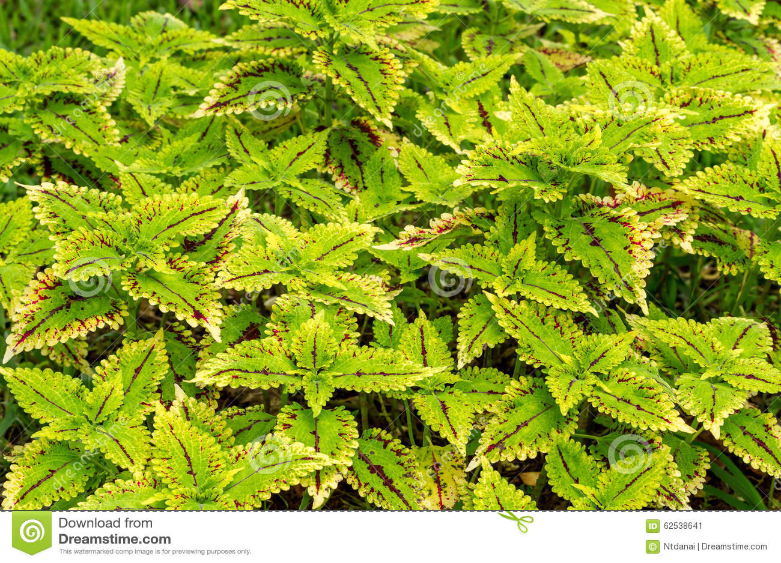 五颜六色的锦紫苏叶子植物