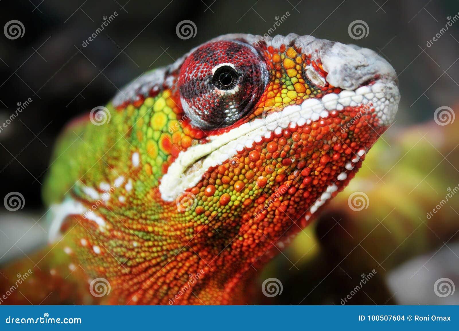 五颜六色的鬣鳞蜥