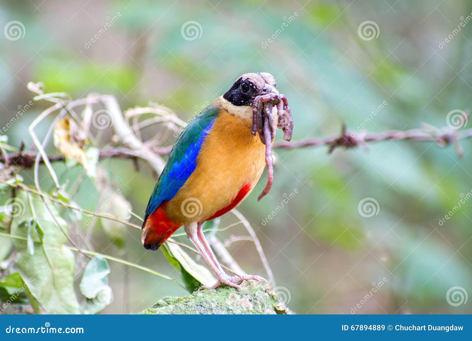 五颜六色的鸟& x28; 蓝色飞过的pitta& x29;吃蚯蚓在森林里