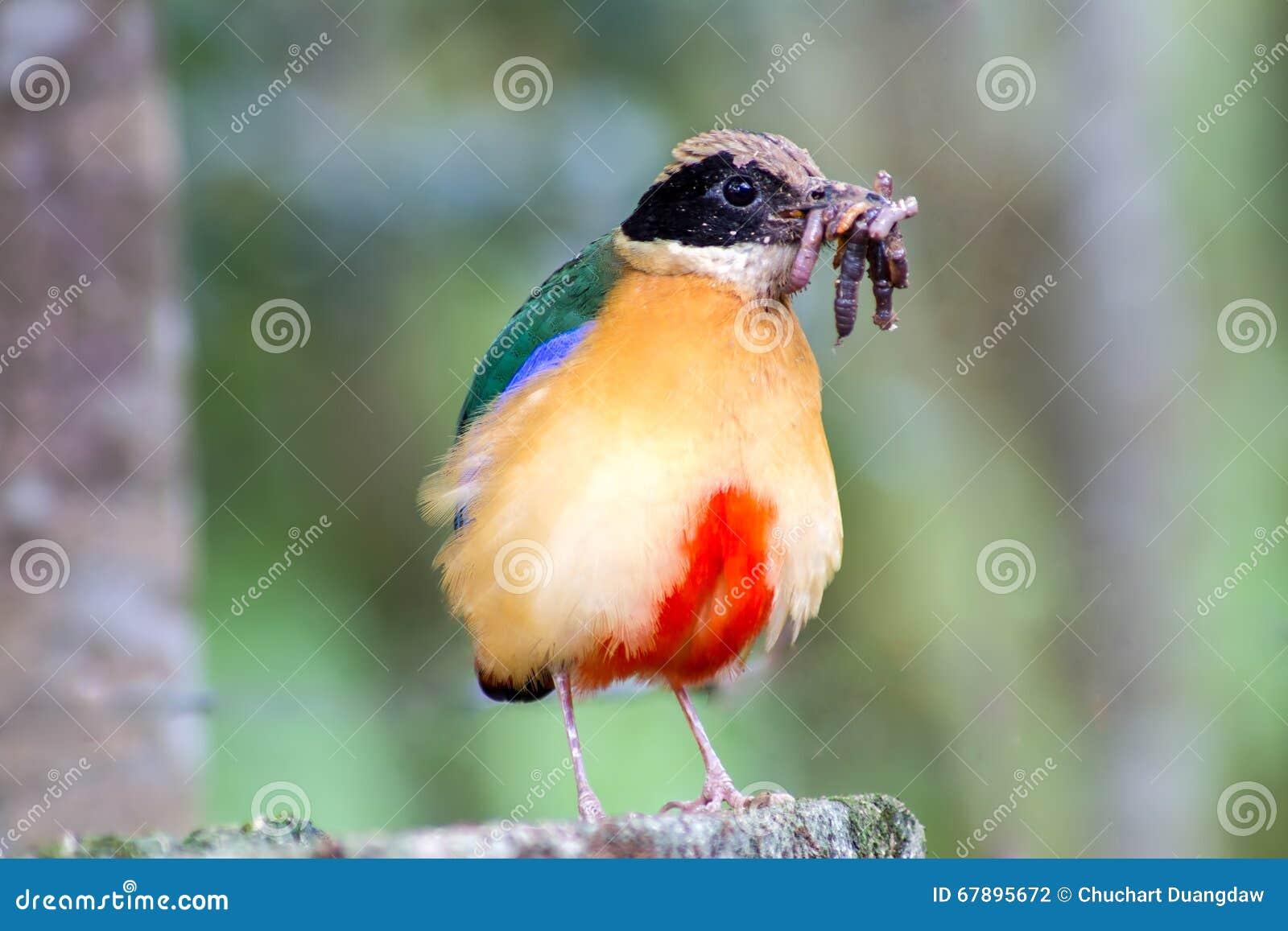 五颜六色的鸟(蓝色飞过的pitta)吃蚯蚓在森林里