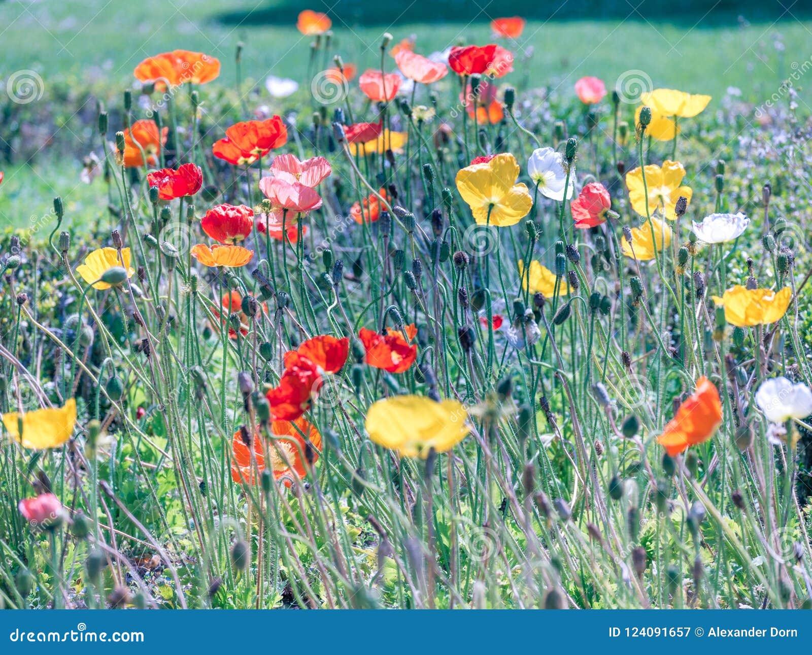 五颜六色的鸦片花田在夏天 关闭