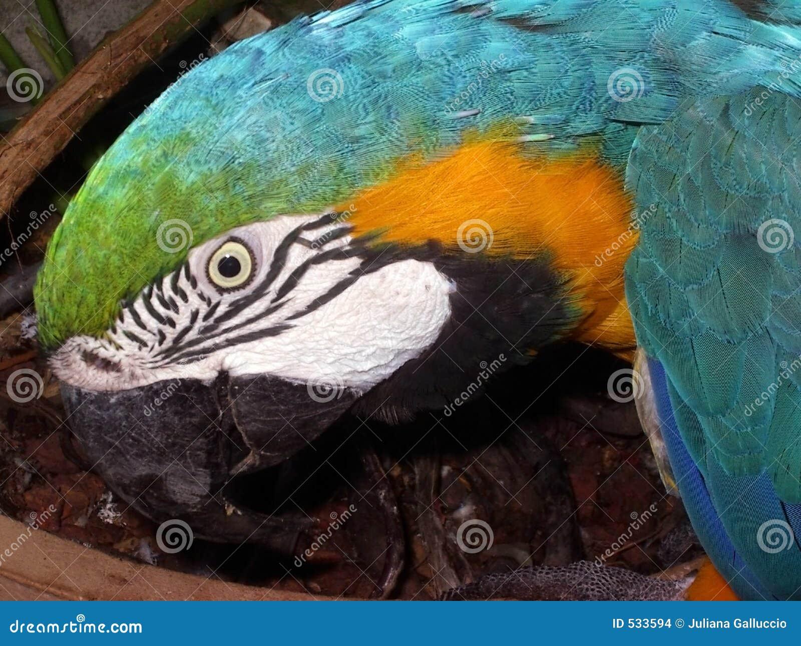 Download 五颜六色的鹦鹉 库存照片. 图片 包括有 自然, 通配, 空白, 宠物, 五颜六色, 黄色, 公开承认, 烧杯 - 533594