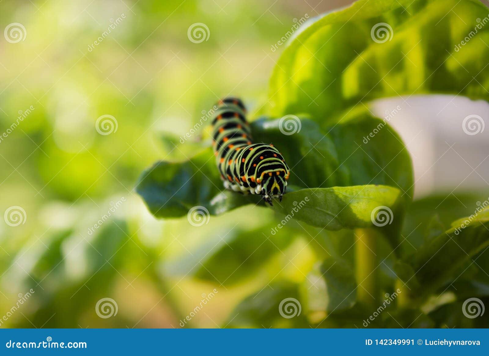 五颜六色的Swallowtail细节