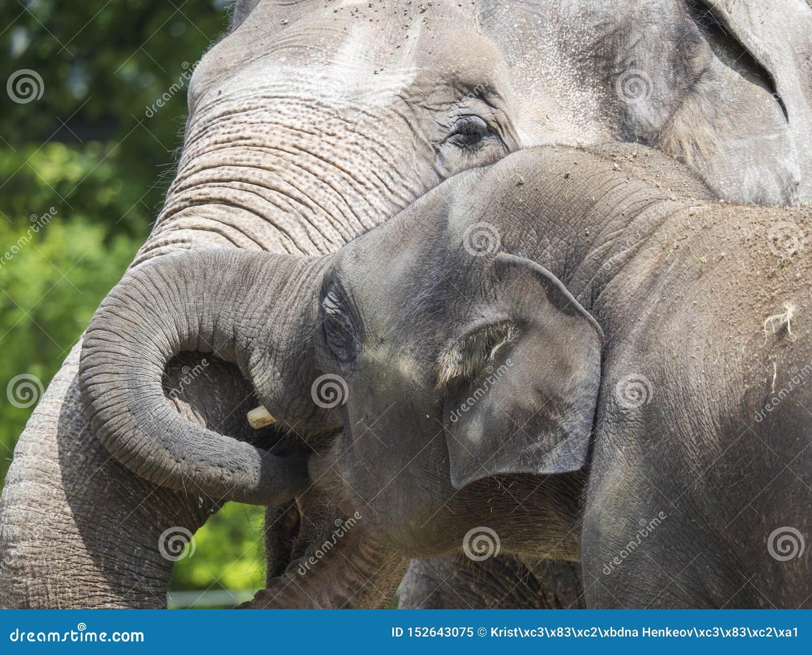 亚洲大象,亚洲象属maximus家庭接近的画象  的母亲和拥抱她小的小的小牛 亚洲大象