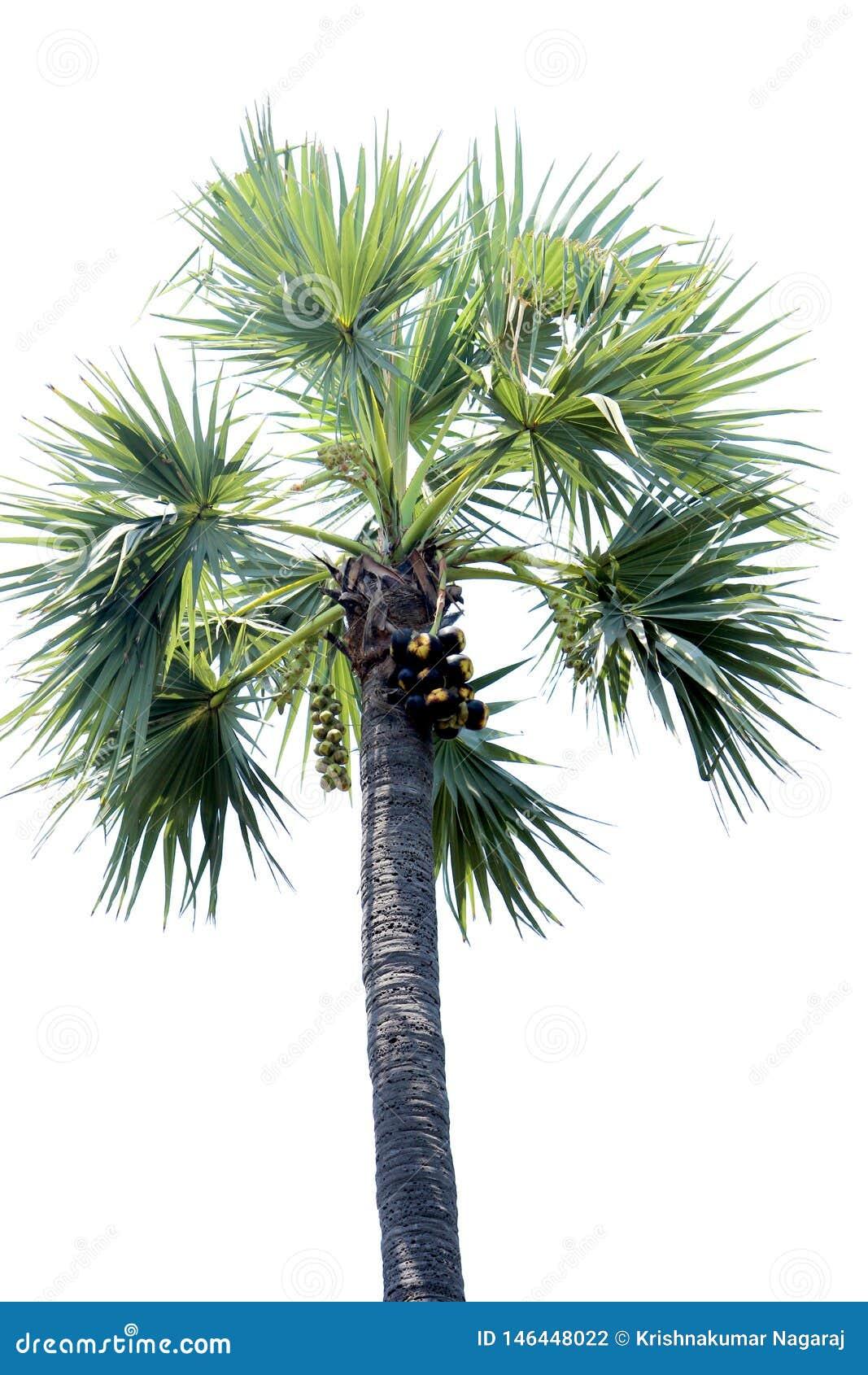 亚洲扇叶树头榈树