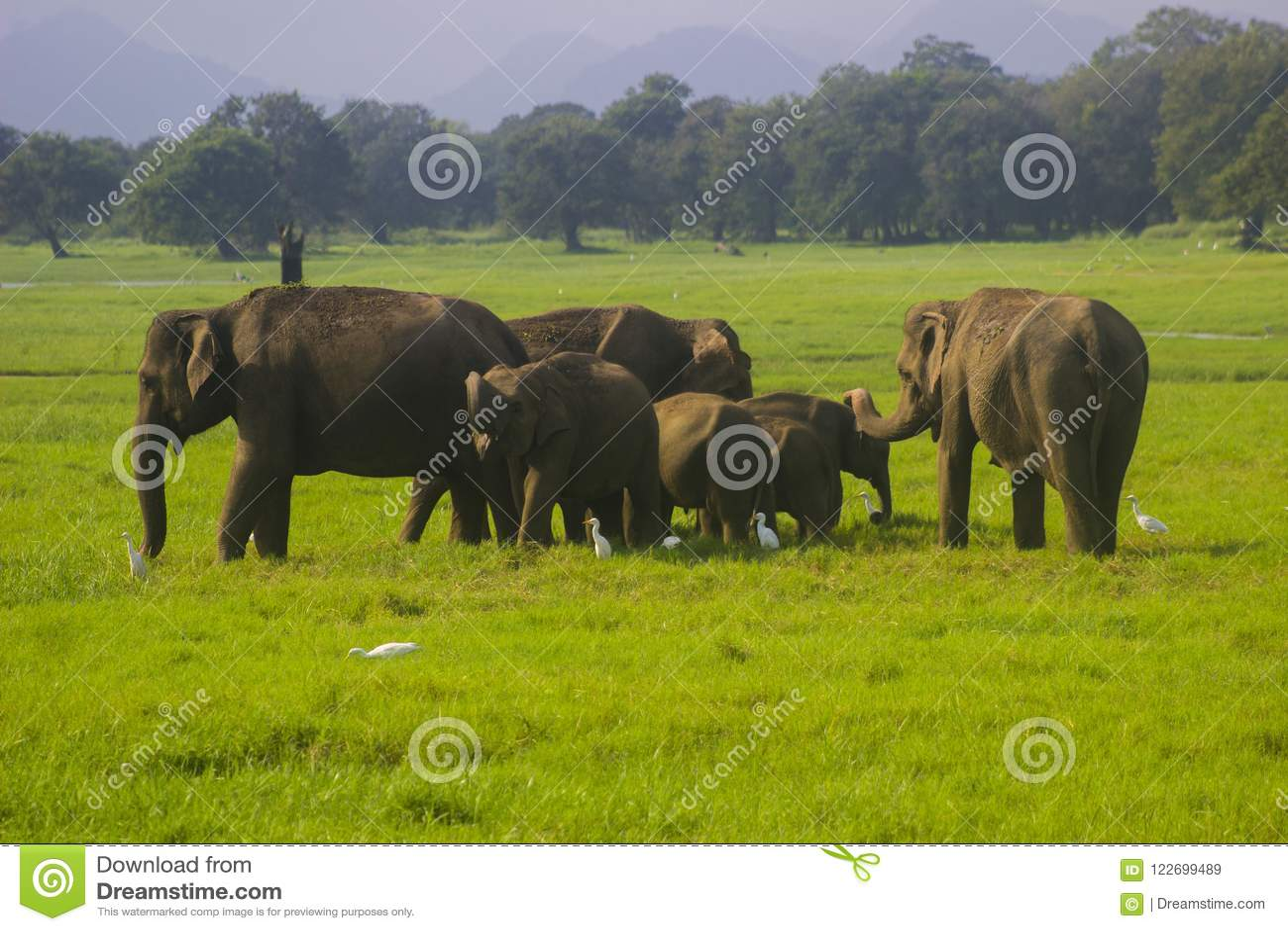 亚洲狂放的Eliphant -斯里兰卡minneriya国家公园