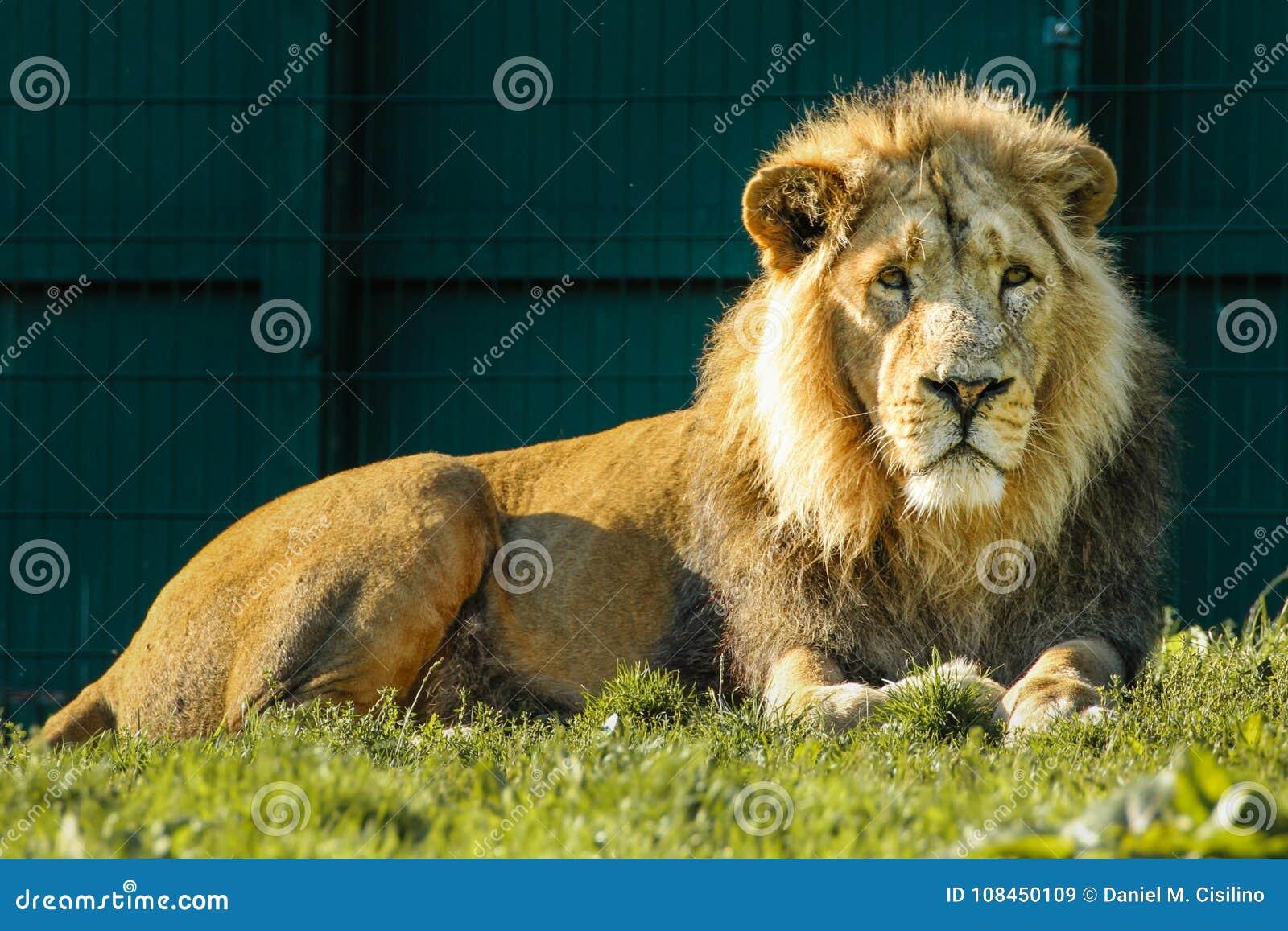 亚洲狮子 都伯林动物园 爱尔兰