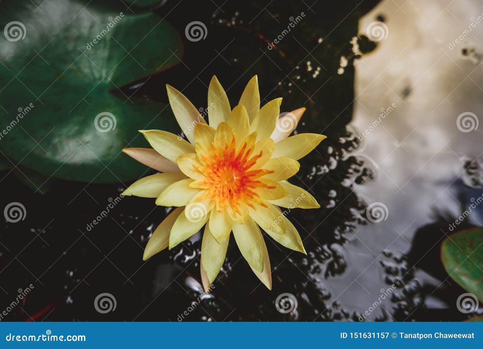 亚洲黄色莲花在池塘