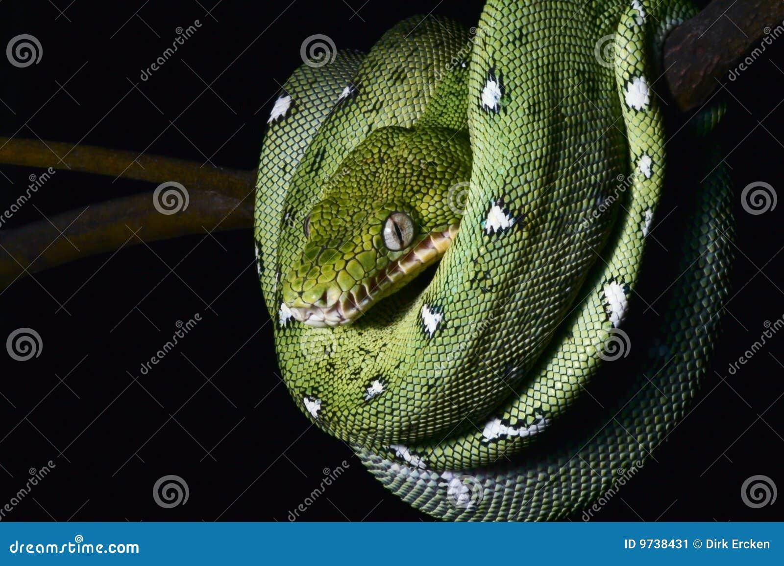亚马逊蟒蛇卷起的绿色密林爬行动物&#