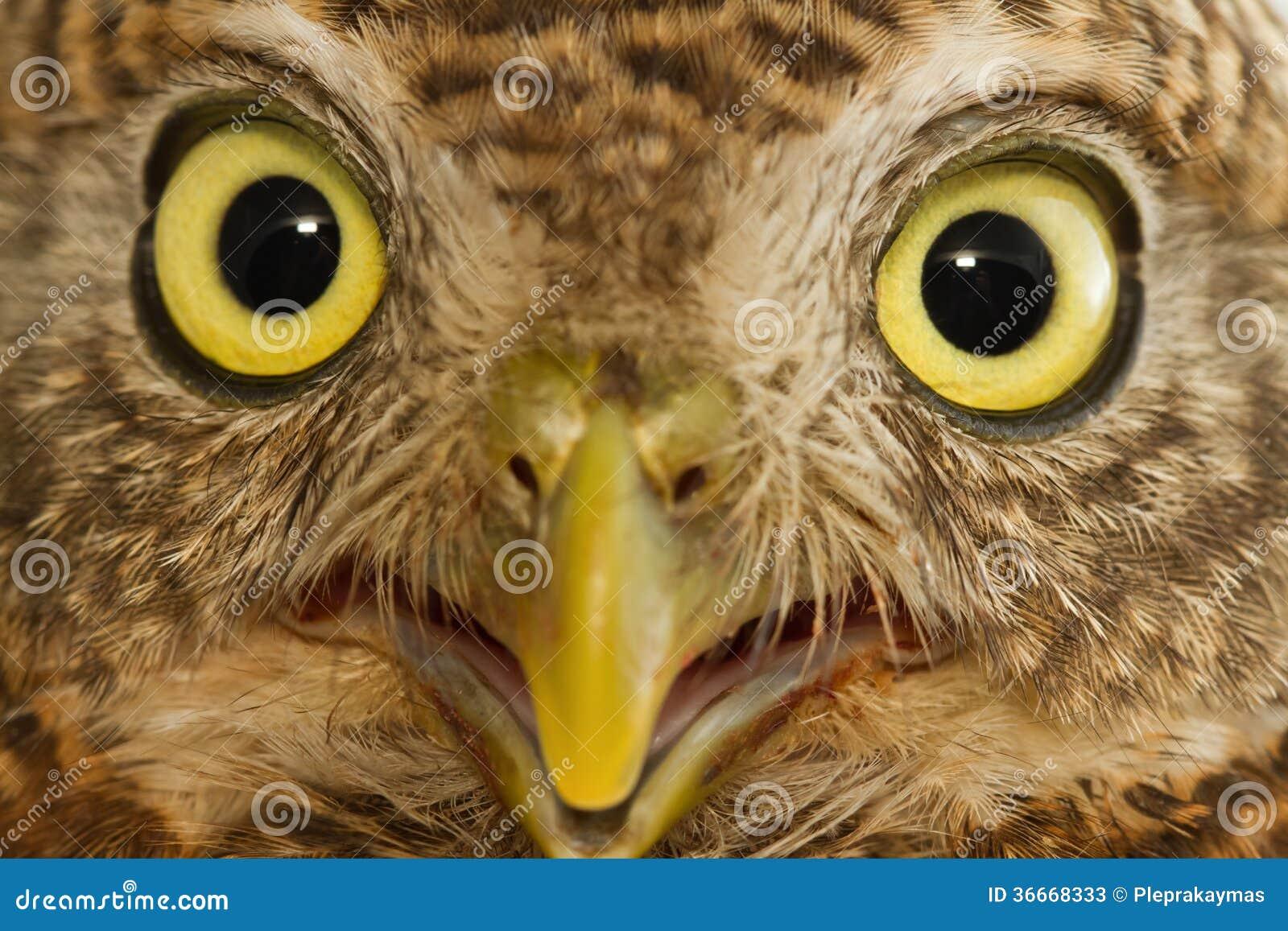 亚洲人禁止的猫头鹰之子,精选的焦点的金黄眼睛.